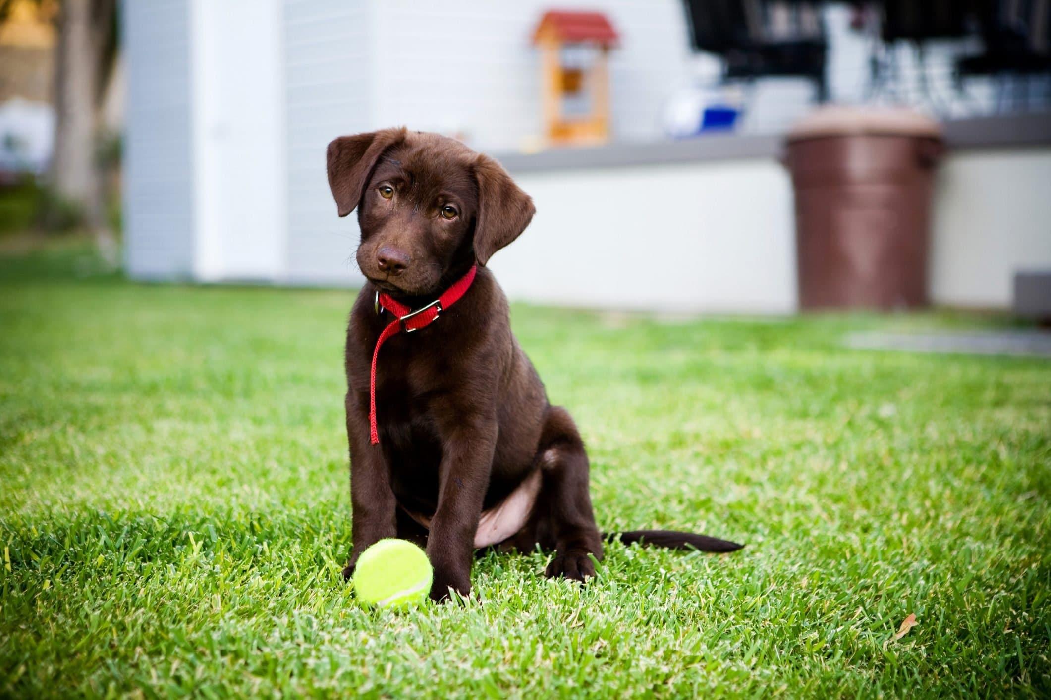 Сладко куче # 1: Лабрадор ретривър - Най-сладките породи кучета като палета