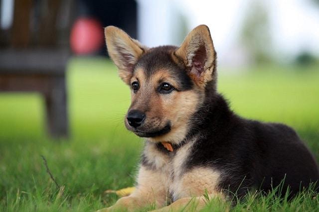 Сладко куче # 2: Немска овчарка