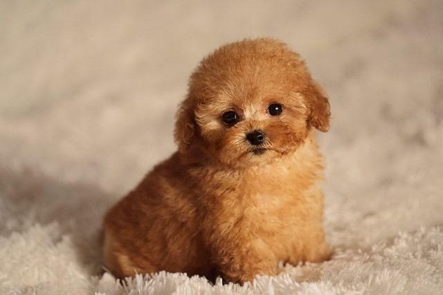Сладко куче # 5: Пудел - Най-сладките породи кучета като палета