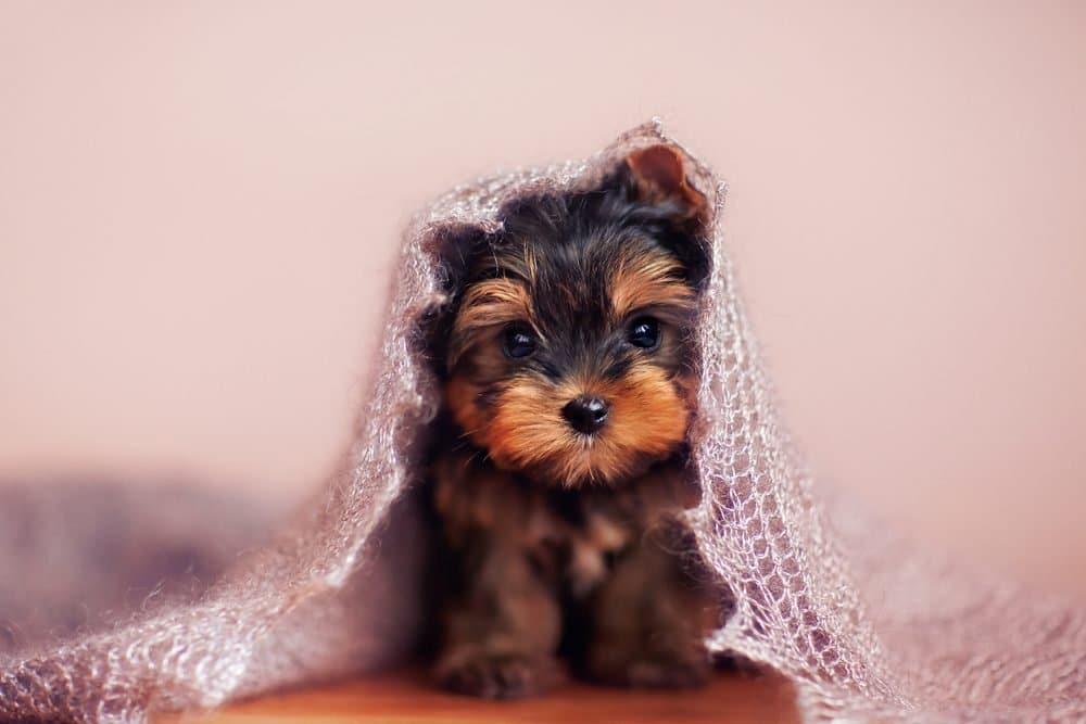 Сладко куче # 6: Йоркширски териер