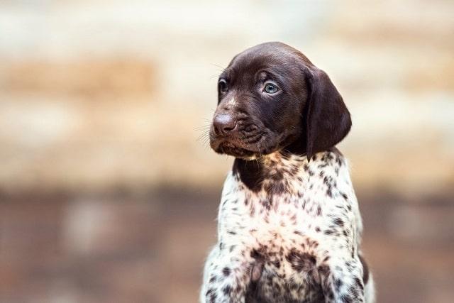 Сладко куче # 7: Немски късокосмест пойнтер - Най-сладките породи кучета като палета