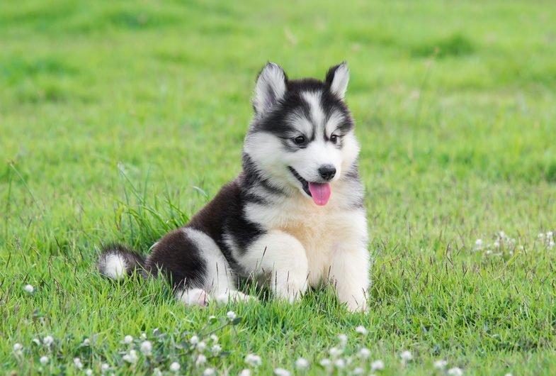 Сладко куче # 8: Сибирско хъски