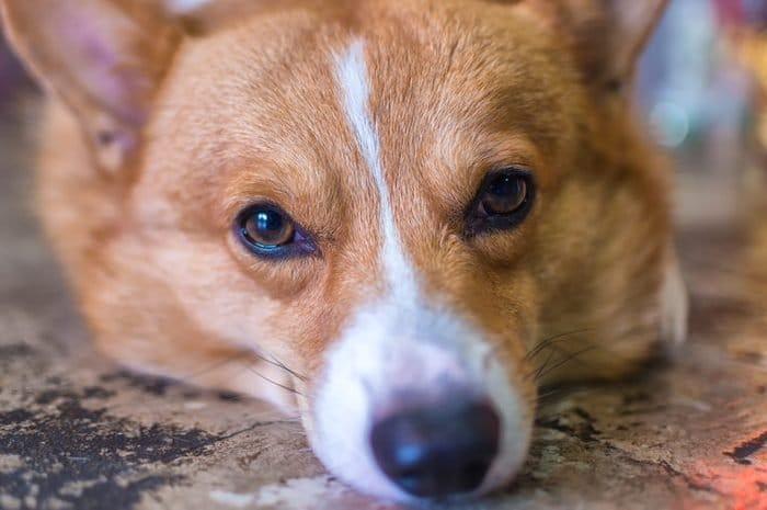 можете ли да познаете породата на кучето