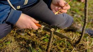 Как да присаждаме калеми върху овошките през пролетта