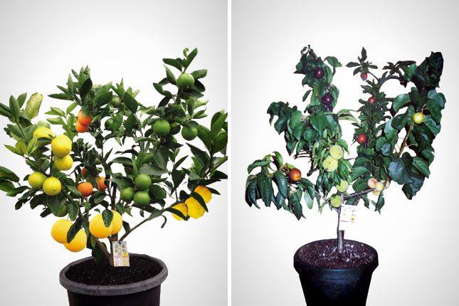 Кои овощни дървета могат да се присаждат заедно