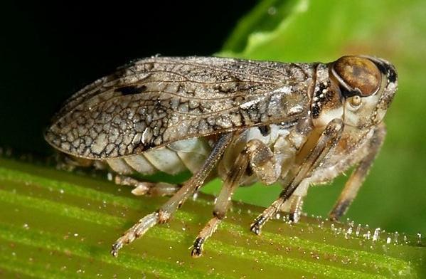 Насекомо Issus coleoptratus