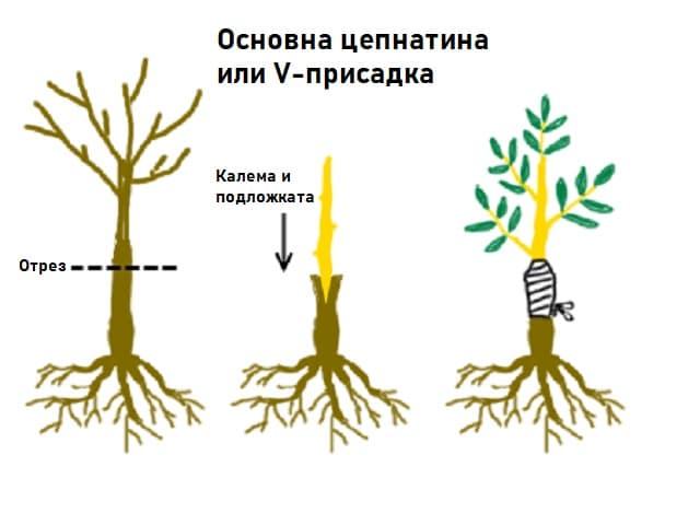 Присаждането на овощни дървета не е възможно без подложка и калем