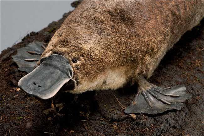 Птицечовка - животни с невероятна причудлива биология