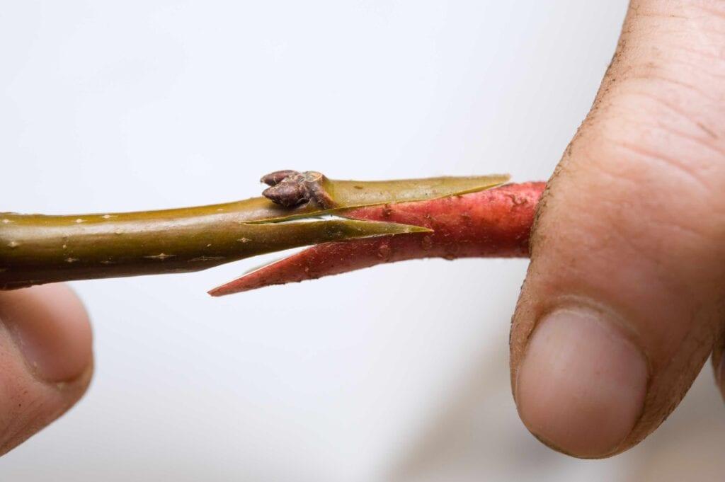 Техники за присаждане на овощни дървета - как да присаждаме калеми върху овошките