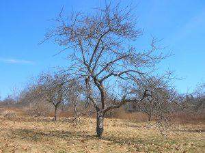 Естествените или неподрязани дървета имат плътни корони, на които липсва слънчева светлина
