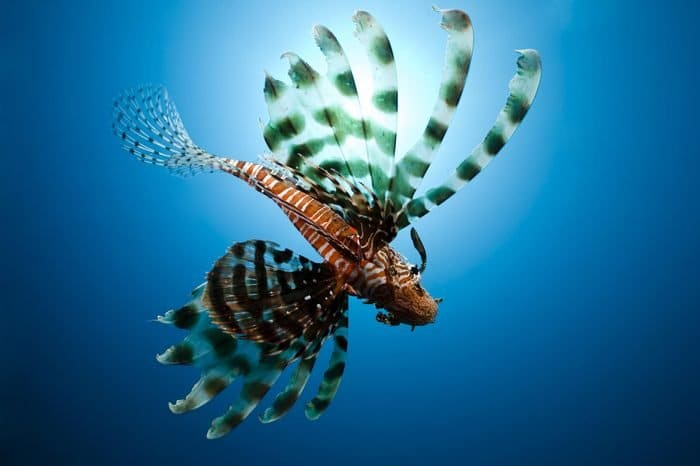 Риба лъв (Pterois volitans and Pterois miles) - най-странните дълбоководни същества