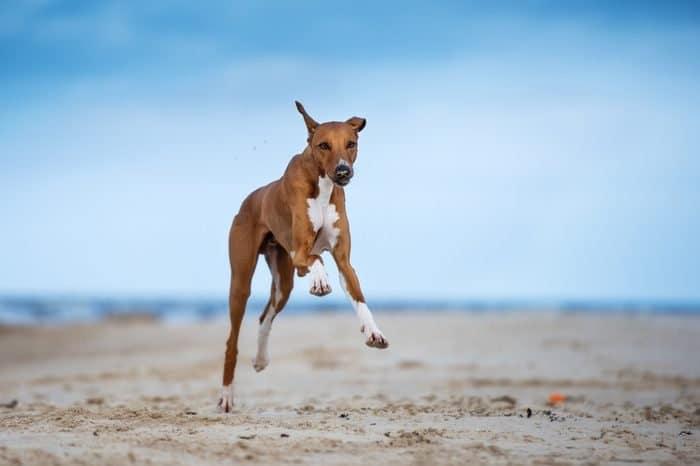 Азавак - най-скъпите породи кучета в света