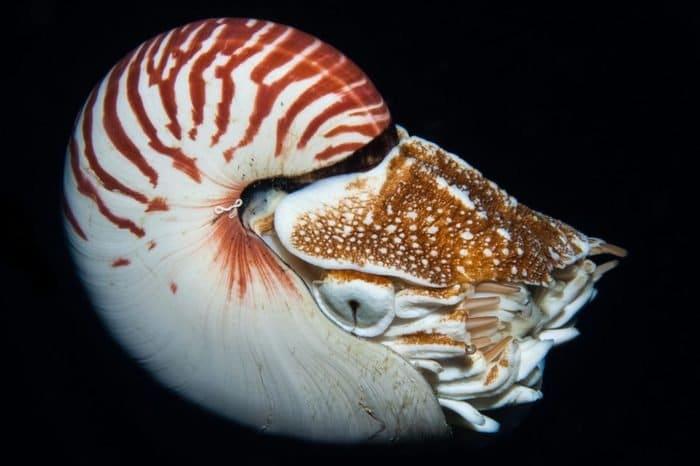 Камерен наутилус (Nautilus pompilius) - най-странните дълбоководни същества