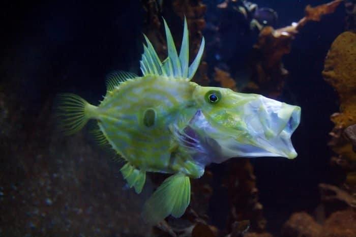 Риба прасе (Congiopodidae) - най-странните дълбоководни същества