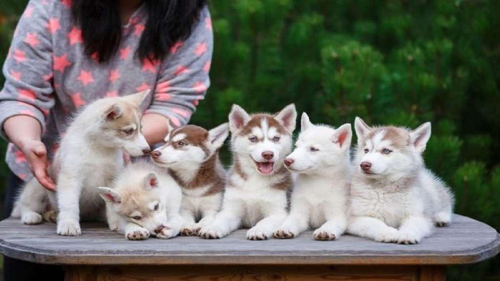 най-скъпите породи кучета в света