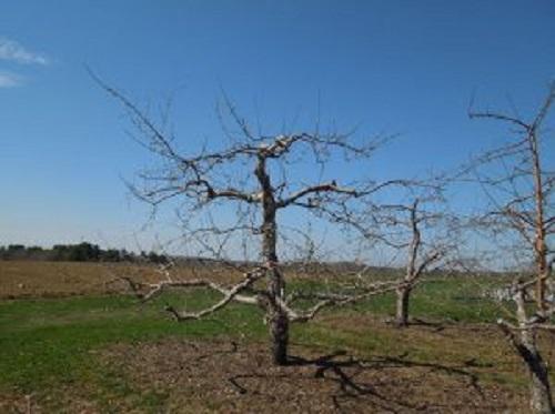 Овошките с един водач имат няколко странични клини, ориентирани хоризонтално, за да улавят слънчевата светлина. Годишната резитба премахва някои от клоните, които засенчват останалата част от дървото.