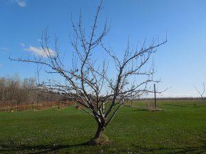Дървото с няколко водача има няколко разклонения, които растат нагоре и навън под ъгъл, което помага да държим дървото на нужната височина.