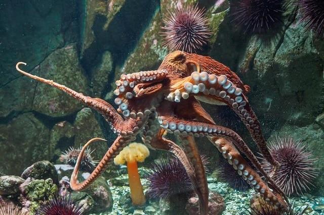 Гигантски тихоокеански октопод (Enteroctopus dofleini)