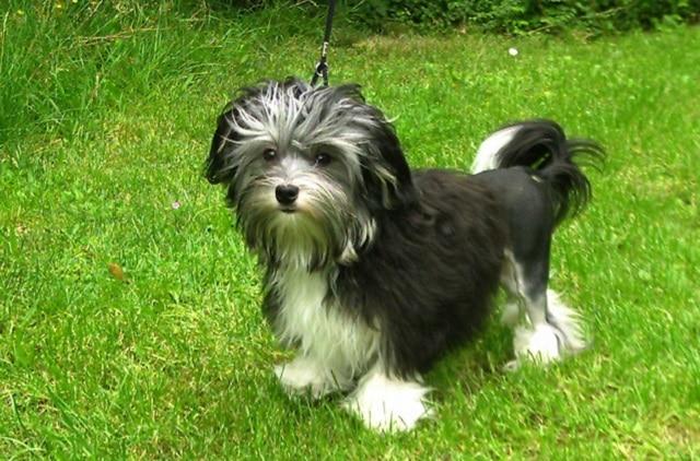 Лоучен (Low Chen) - най-скъпите породи кучета в света
