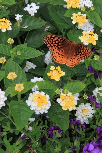 Привлечете пеперудите в градината - как да създадем красива градина