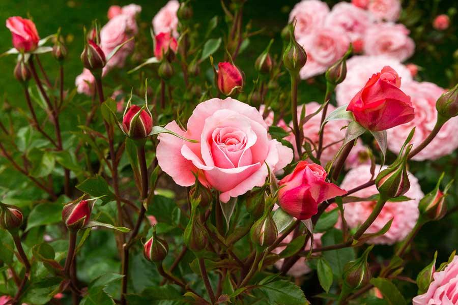 Кой е най-добрият тор за нашите рози - наторяване на розите