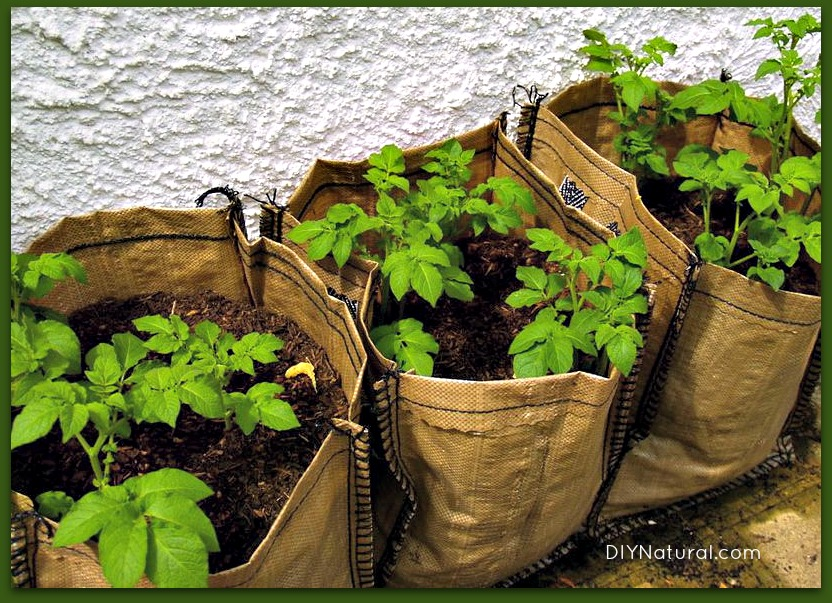 Засаждане на картофи в чували - как да отглеждаме картофи
