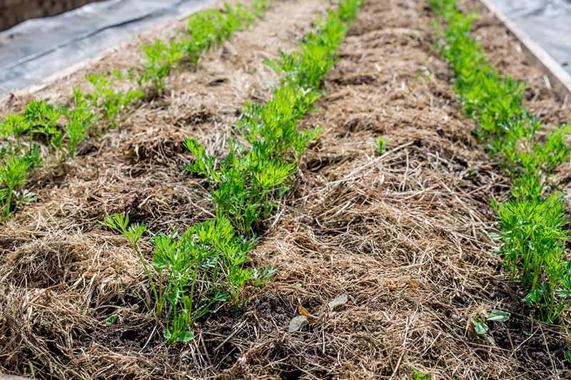 Окосена трева - как да мулчираме растенията в градината