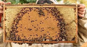 Как се придава млада пчелна майка в семейство без пчели