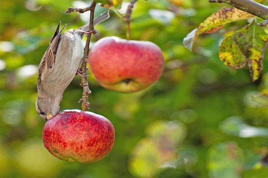 Как да защитим градината и овошките от птици