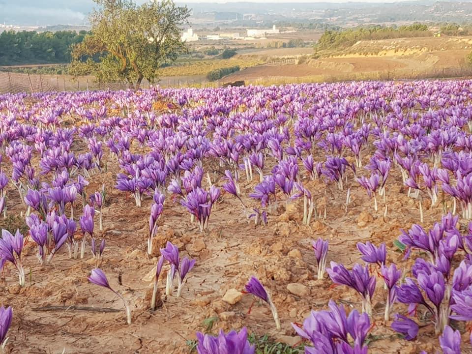 Отглеждане на шафран в България