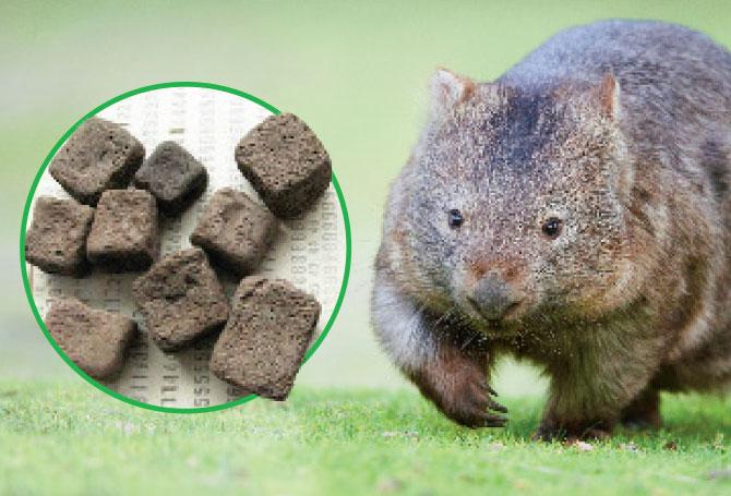 Вомбатите, който акат кубчета - животни с невероятни биологични странности