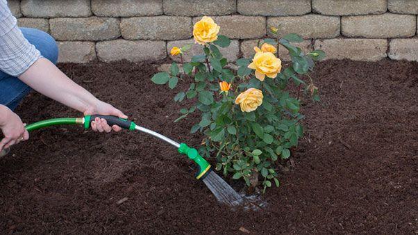 Дръжте насажденията от рози добре напоени - как да подготвим розите за зимата