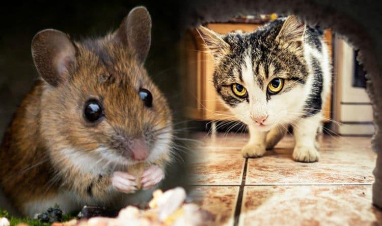 Как да се отървем от мишките - полезни съвети