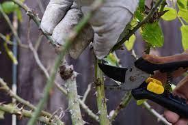 Подрежете пролетния растеж - как да подготвим розите за зимата