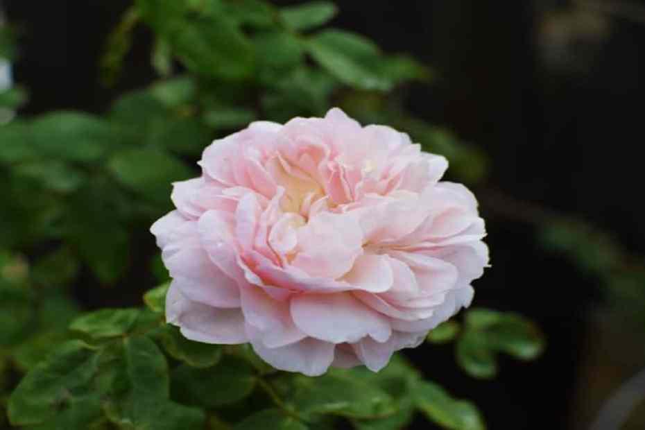 Как да подготвим розите за зимата - полезни съвети
