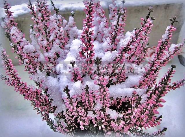 Цъфтенето на калуната и замръзналите съцветия