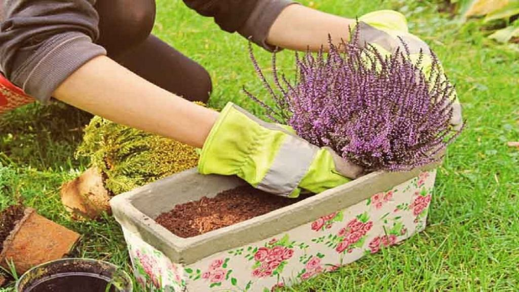 Засаждане на калуна от разсад - как да отглеждаме калуна в градината