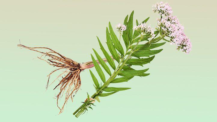 Корен от валериана подобрява съня - най-добрите билки за сън