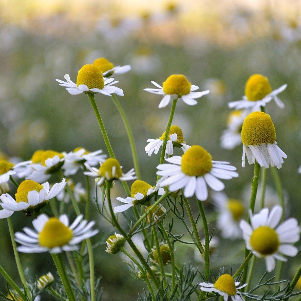 Лайка (chamomile) - най-добрите билки за сън