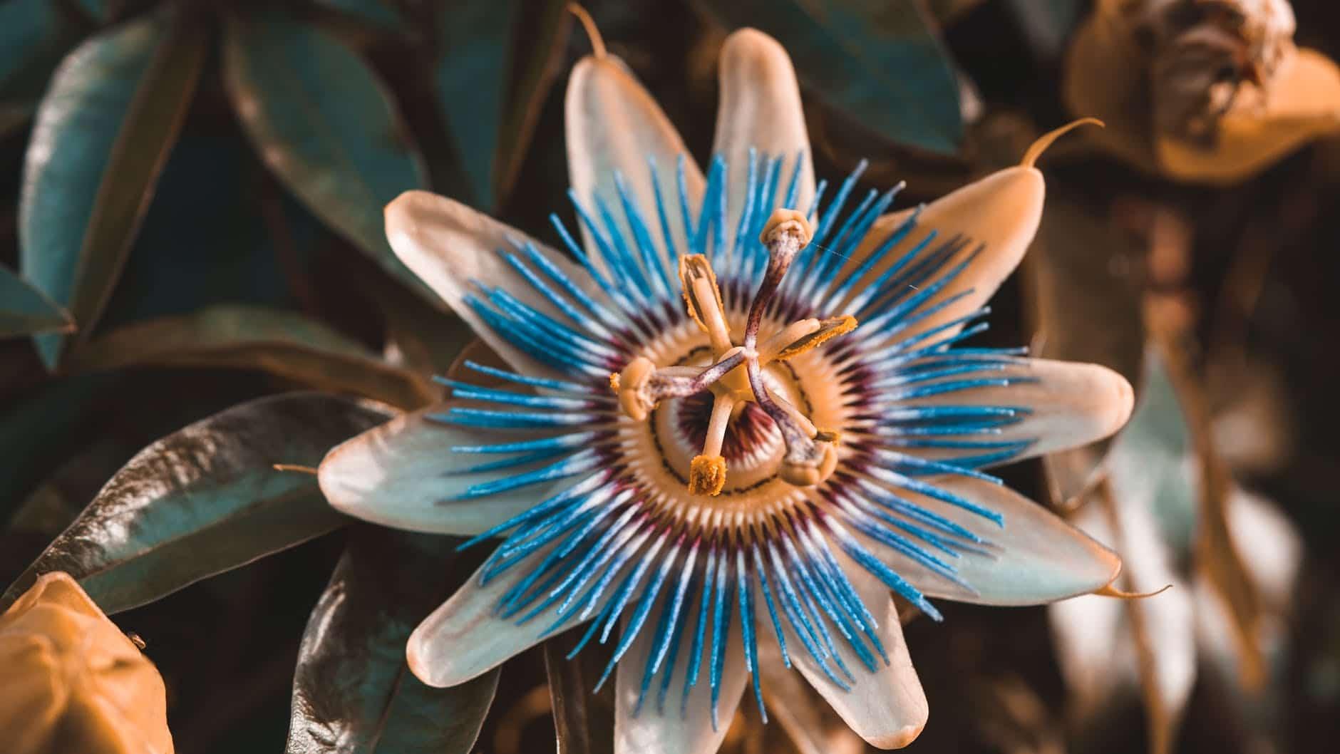 билката пасифлора е много добра за добър и качествен сън
